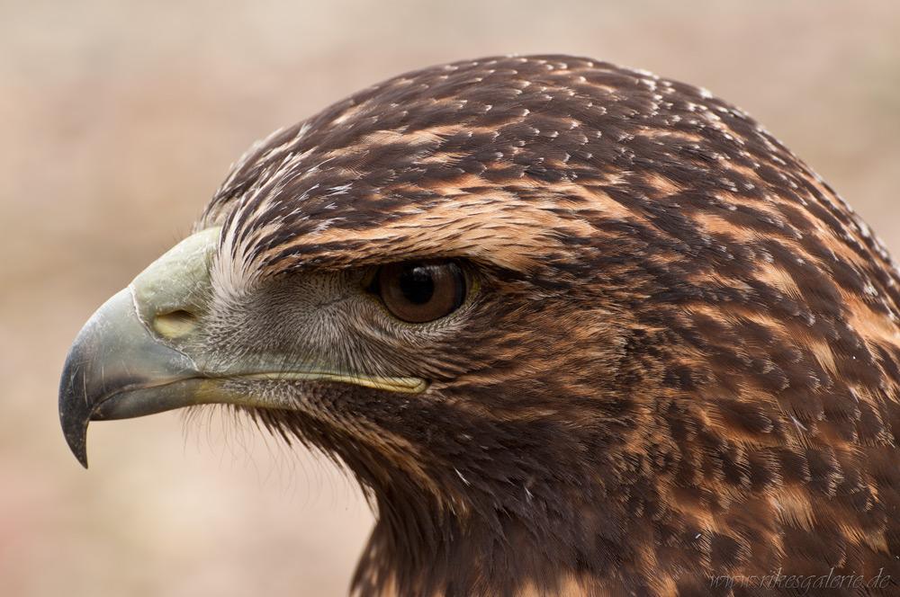 Greifvögel – neue Fotos online