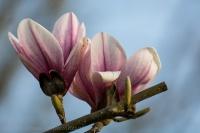 Blüten der Tulpen-Magnolie