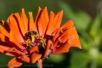 Zinnie in orange